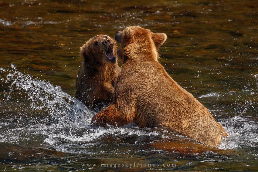 0428 Bear Fight_850.jpg
