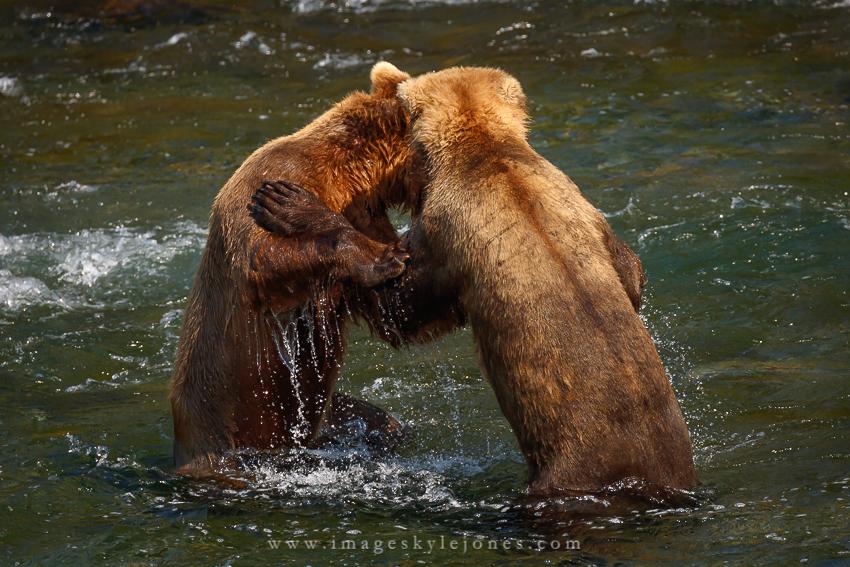 0526 Bear Fight_850.jpg