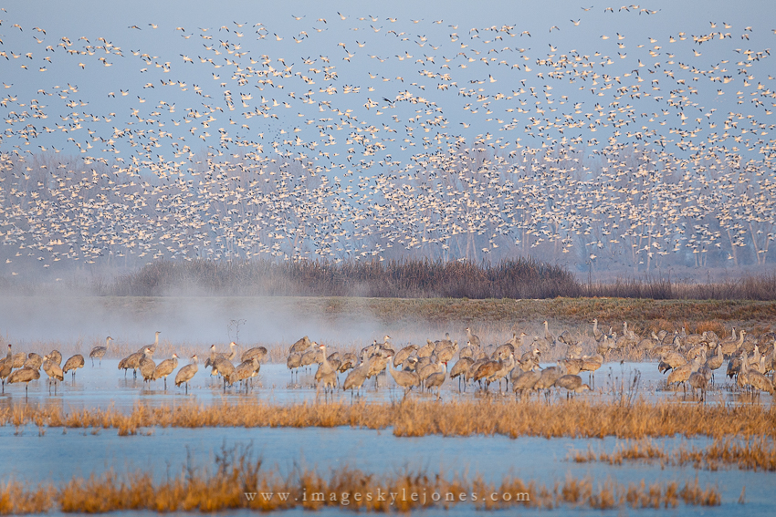 5898 Cranes and Geese_850.jpg