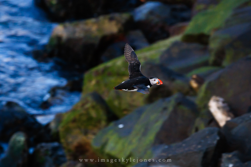 6254 Flying Puffin_850.jpg