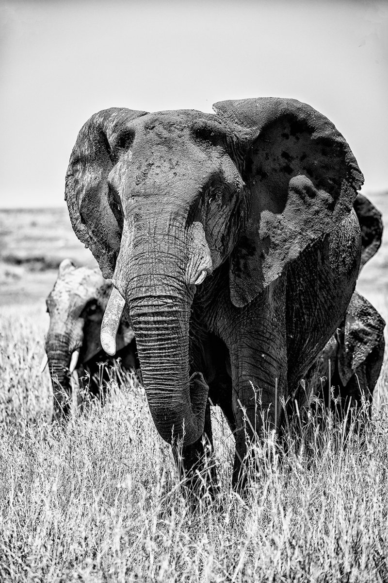 b&w-elephant-turned.jpg