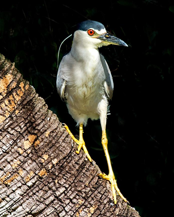 black-crowned night heron (1 of 1).jpg