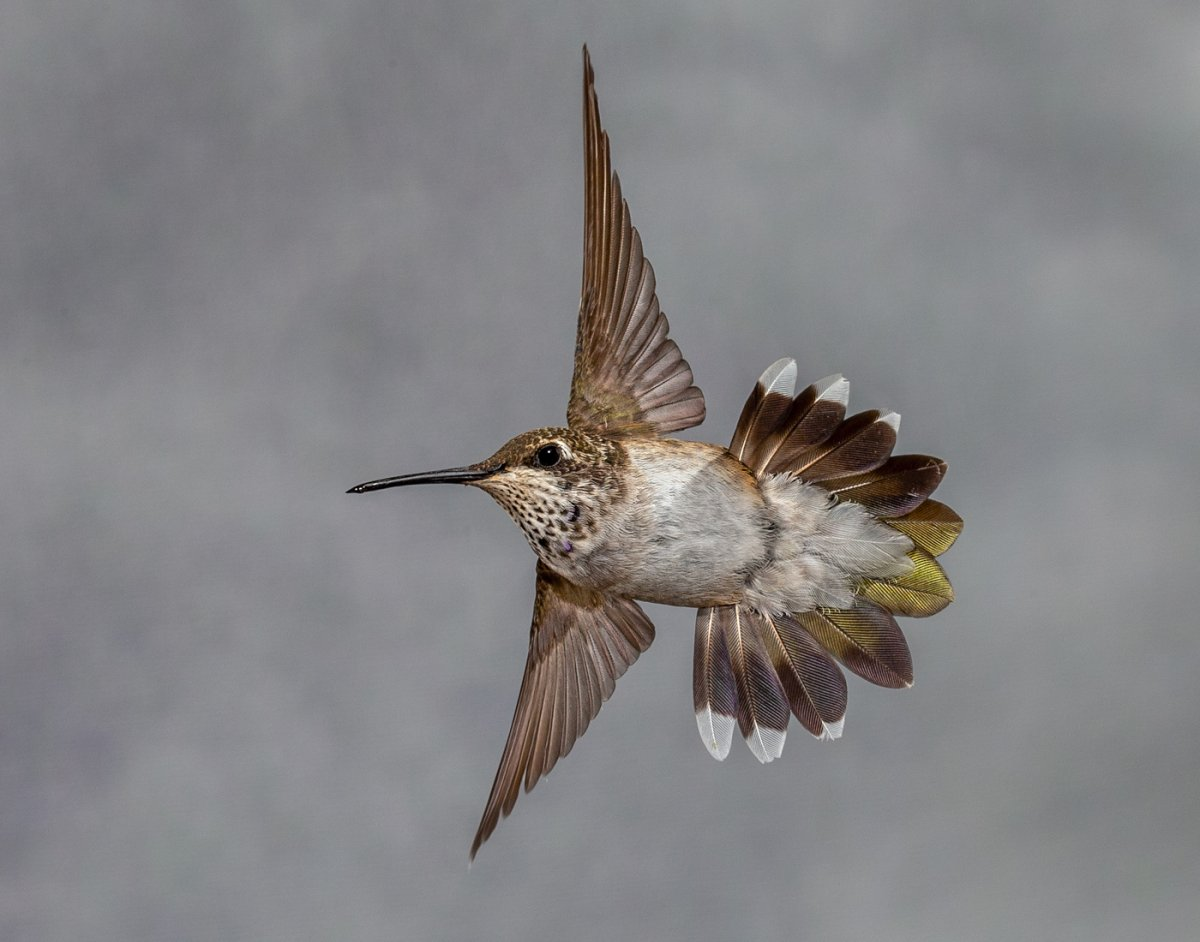 Broad-tailed Hummingbird-1134-Edit.jpg