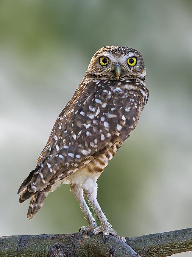 Burrowing Owl  bomber II.jpg