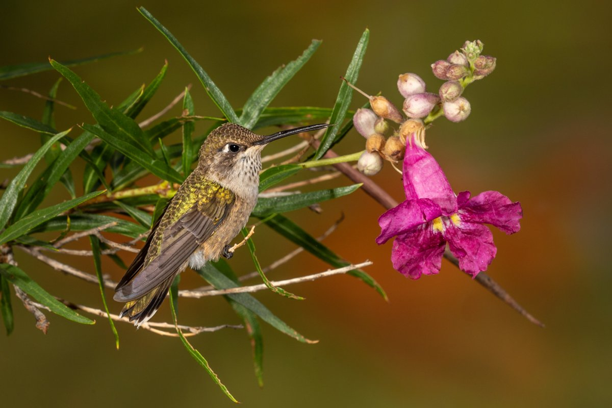 Costa's Hummingbird-774-Edit.jpg