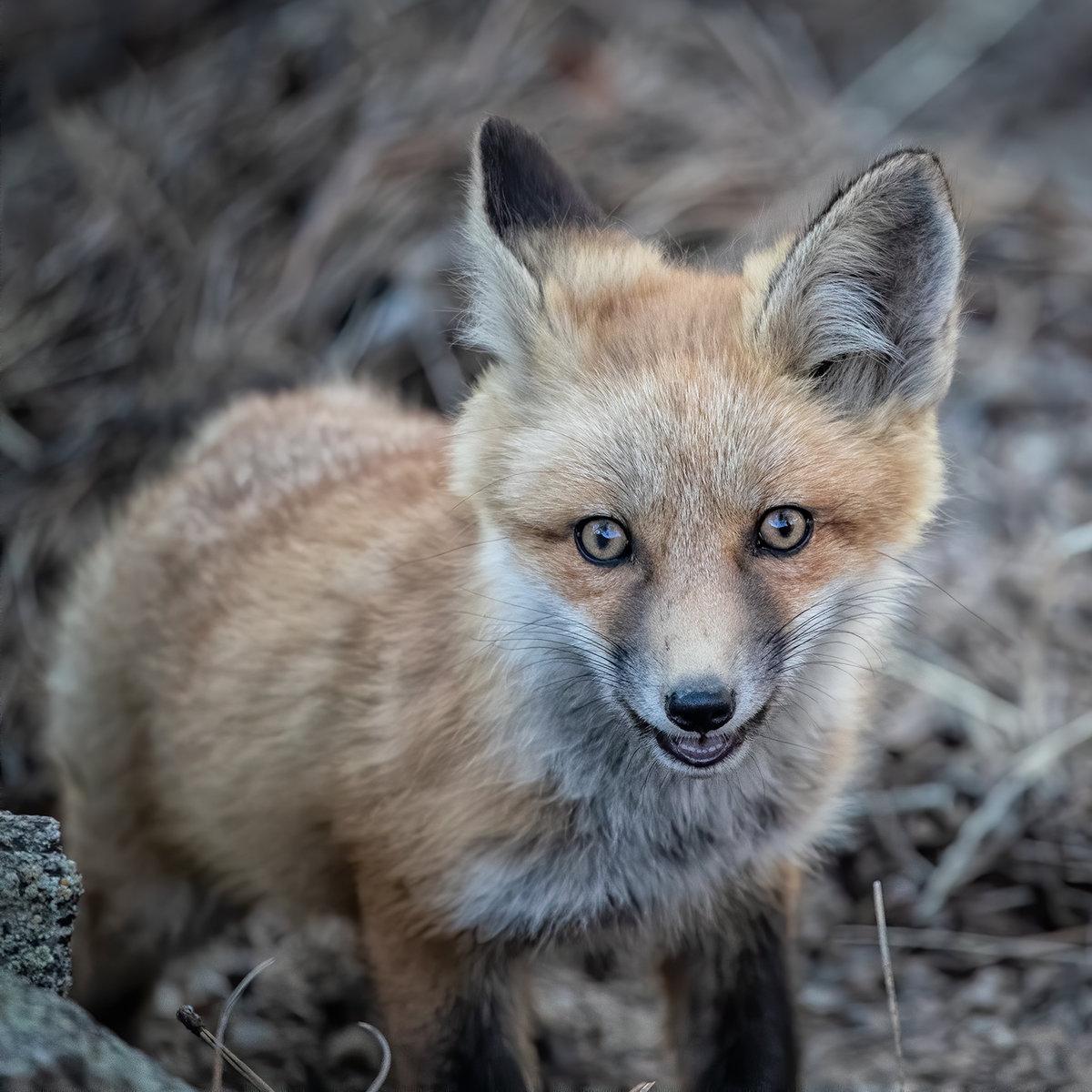 Fox2-5.21CropNik.jpg
