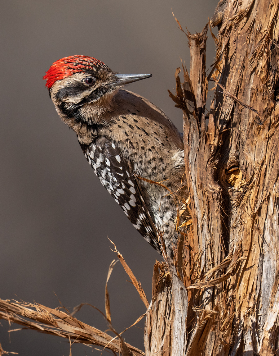 Ladder-backed Woodpecker-03157-Edit.jpg