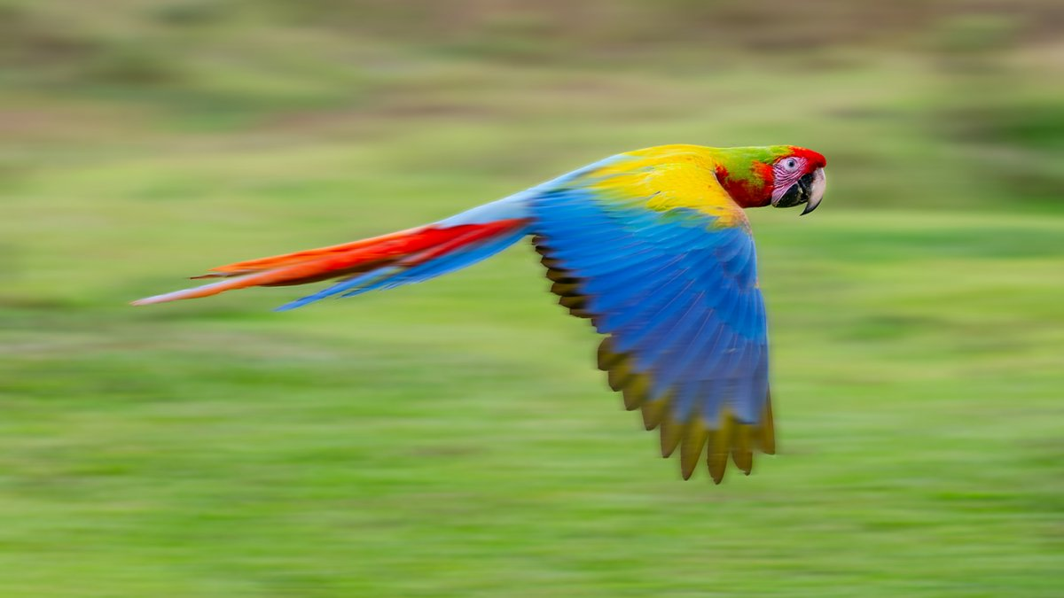 Scarlet-Great Green Macaw hybrid.jpg