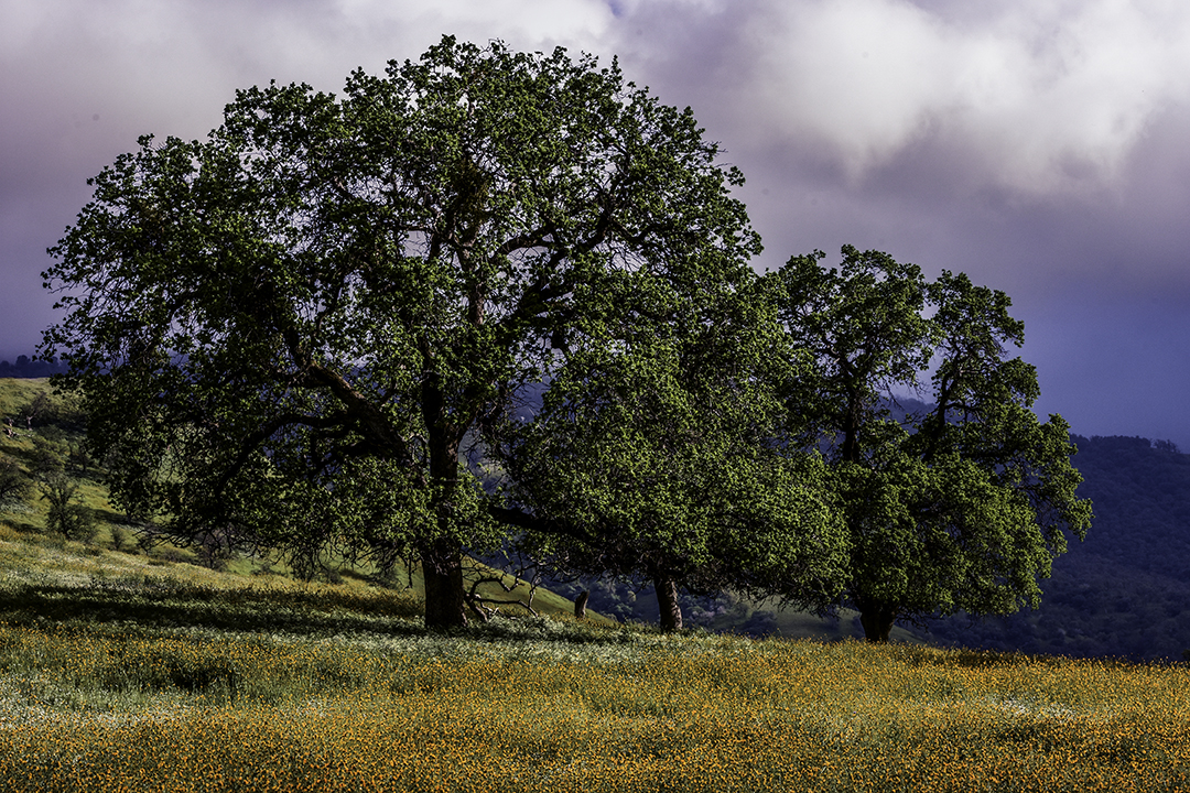 Two Live Oaks in the Temblor Range, CA.jpg