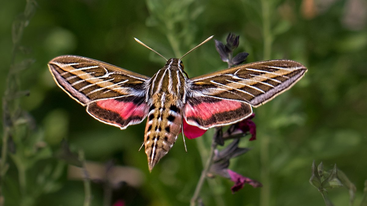 White-lined sphynx moth.jpg