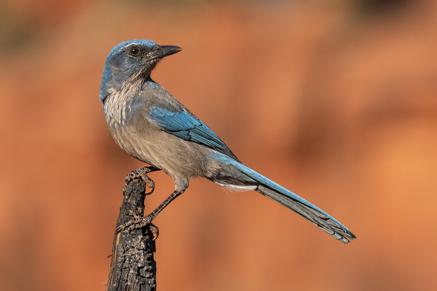 Woodhouse's Scrub-Jay-02149-Edit.jpg