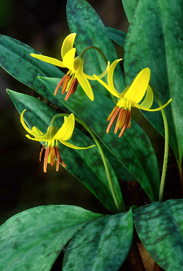 yellow trout lily.jpg