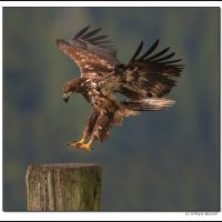 Immature Bald Eagle Landing, Canada.