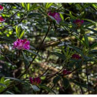 Carl Washburn Rhododendrons